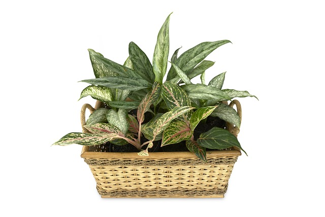 Indoor House Plants the handy mano mano chinese evergreen