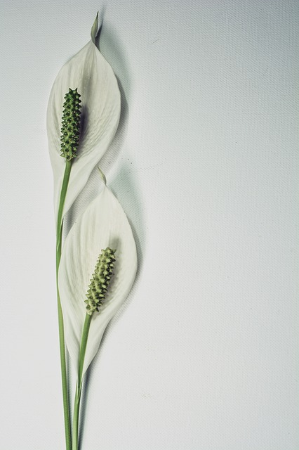 Indoor House Plants the handy mano mano peace lily