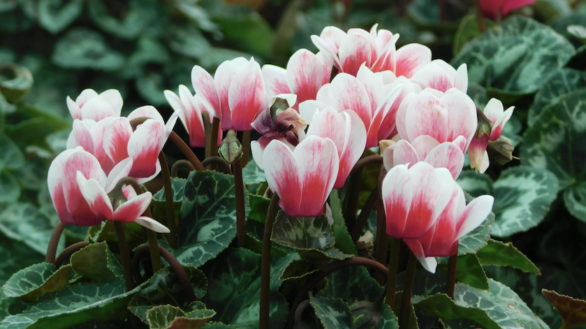 Cyclamen thrives in winter gardens