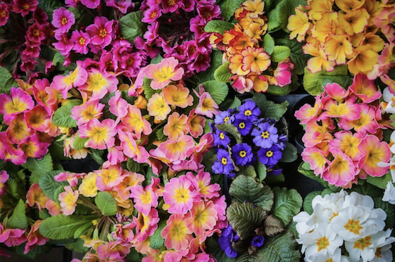 Primroses work well with other plants