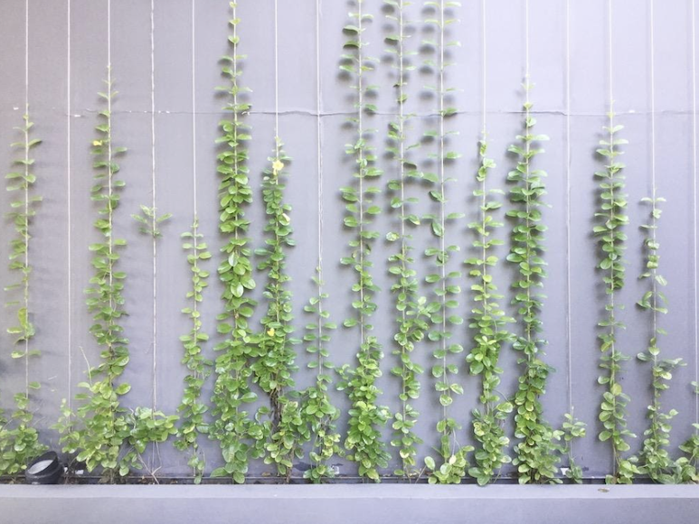 Climbing plants can provide a privacy screen