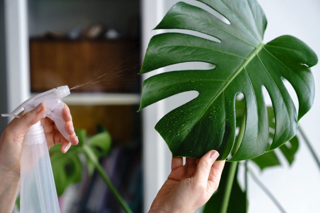 Spray the leaves to gently rehydrate the plant